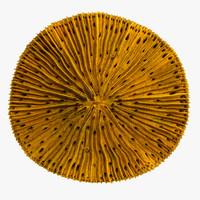 maya fungia coral