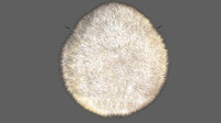 echinocardium heart urchin 3d obj