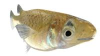 gambusia fish species 3d model