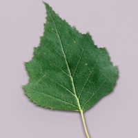 3d birch leaf young