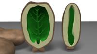 3d obj endosperm seeds