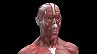 3d study anatomy human model