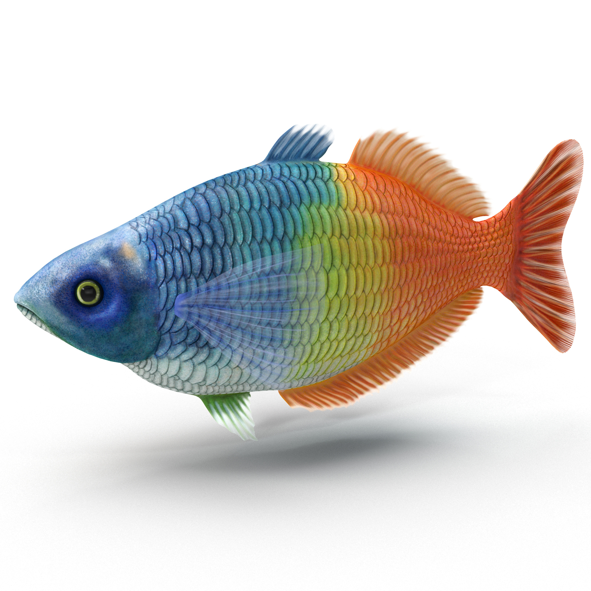 3d for Boesemani rainbow fish