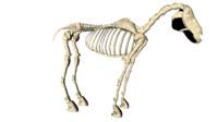 horse skelton obj