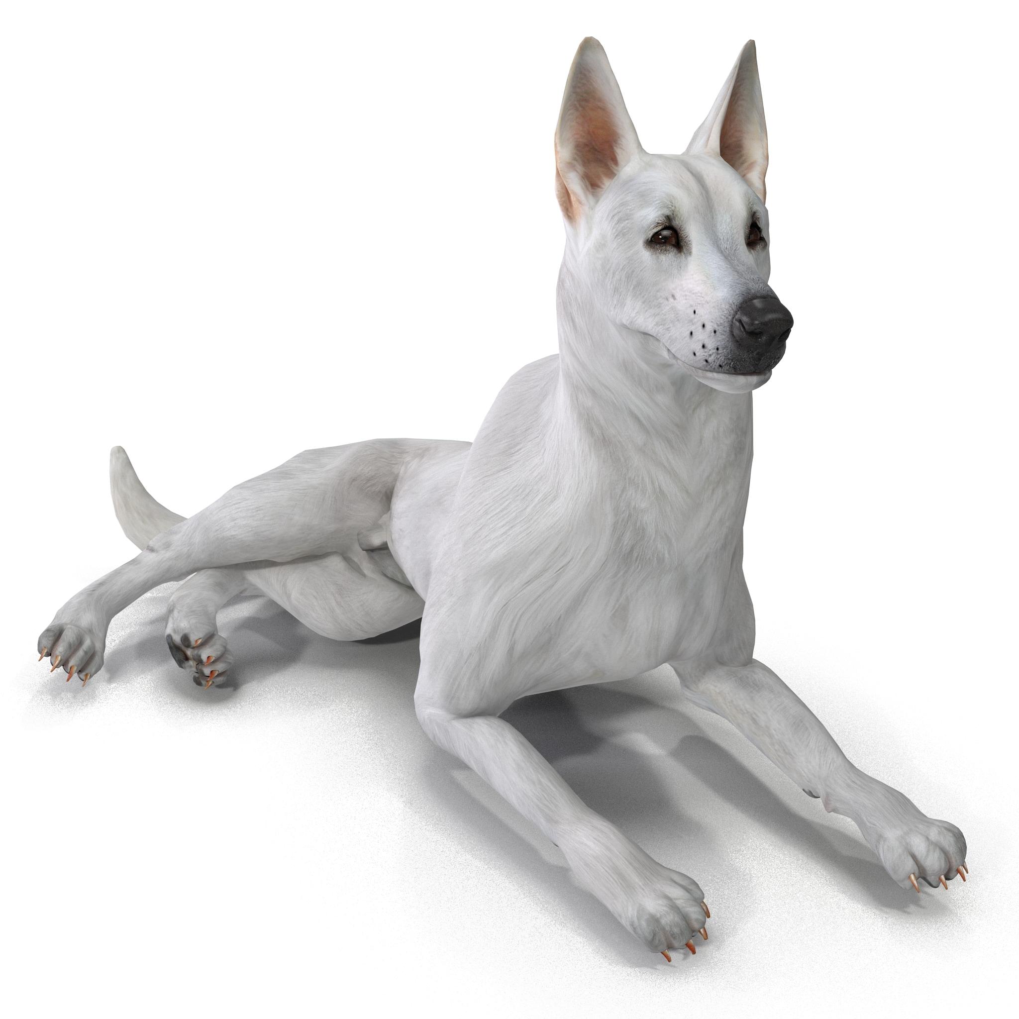 White Shepherd Dog Pose 5_2.jpg