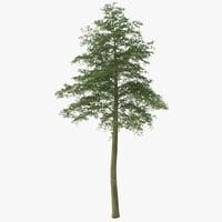 maya hornbeam tree 2