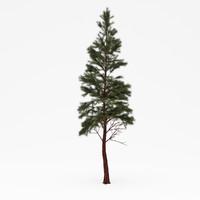 3d conifer 015 model