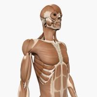 3d model human muscle