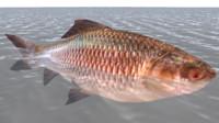 labeo fish 3d model