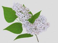 lilac modelled obj