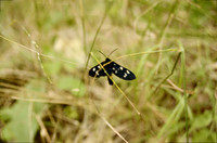 black nine-spotted moth - jpg only