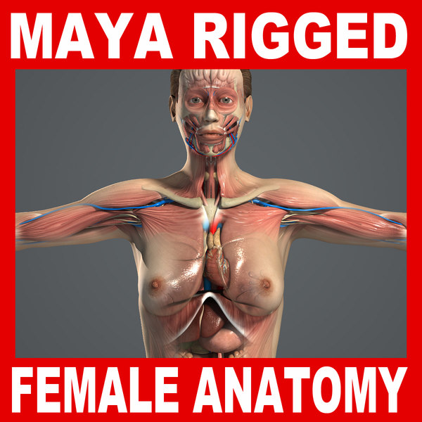 3d rigged complete female anatomy