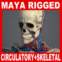 3d rigged circulatory skeletal systems