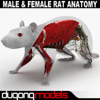3d dugm01 rat anatomy male model