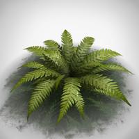 maya fern plant
