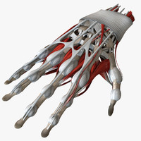 3d model of anatomy human hand