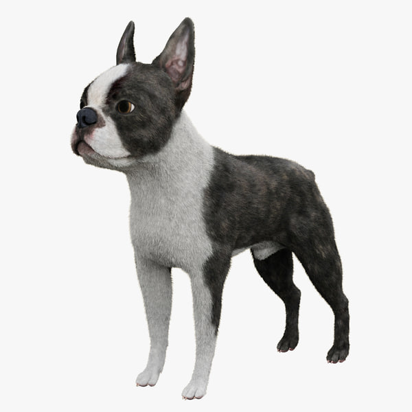 Boston Terrier Fur doggy beast mammal canine animal dog breed vray pet