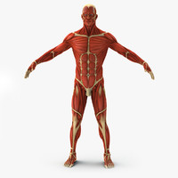 muscular medically anatomically 3d max
