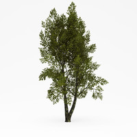 3d model of deciduous 011
