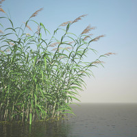 phragmites common reed grass 3d max