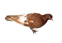 pigeon 3