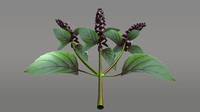 ocimum herbs basil 3d obj