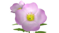 3d oenothera flowering plant