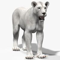 3d model lioness white lion