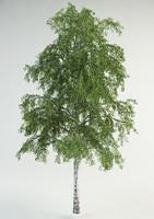 realistic birch max
