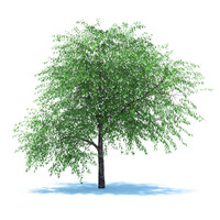 3d model tree cherry blossomed