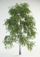 maya realistic birch