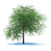 tree cherry berries 3d fbx
