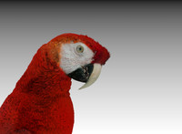 3d red macaw parrot