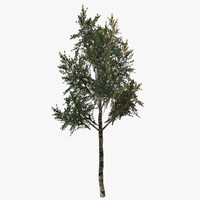 birch tree ma