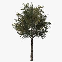 3d ma birch tree