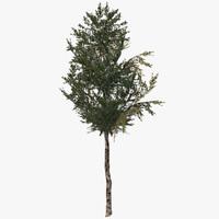 3d fbx birch tree