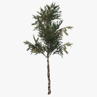 3d birch tree model