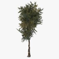 birch tree x
