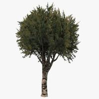 x birch tree