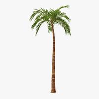 maya palm 03