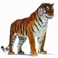 3d amur siberian tiger cat model