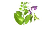 3d model pea pod flower