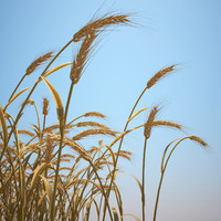 Emmer Wheat Field