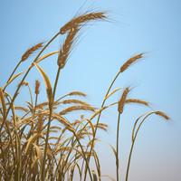3d emmer wheat