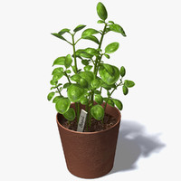 3d basil plant model