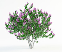 lilac syringa bush 2