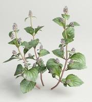 flowering mint 3d max