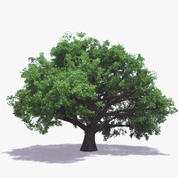 3d model english oak tree