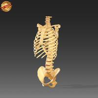 3d vertebrae