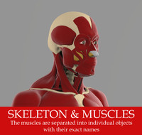 3d precise human skeleton muscles model